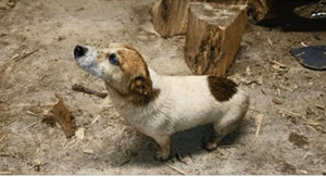This little Jack Russel Terrier strayed from its home in Killarney and has been spotted in Castleisland.