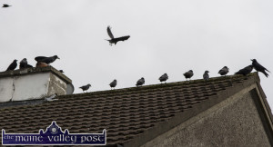Crows Sept 2015