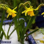 Daffodils in the Snow – Hope Springs Eternal