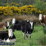 Shooting of cattle 'A disgraceful, despicable act' – Healy-Rae