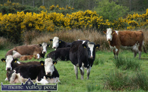 """The shooting of cattle on a farm - """"a disgraceful, despicable act""""  - Michael Healy-Rae, TD."""