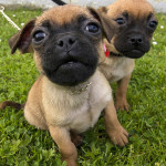 Pug/Russell Terriers or 'Jugs' For Sale in Castleisland
