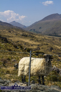 A black faced sheep at the entrance to The Black Valley.  ©Photograph: John Reidy