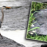 Body of Protected Species Found by Castleisland River Walk