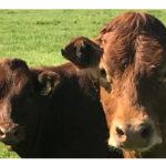 As Sure as Calves in May …