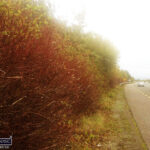 Knotweed: Hedgerow Management Loses Local Knowledge to Procurement Process