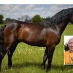 Brosna Pre-Fixed Connemara Stallion got his Class 1 Papers in Ballinasloe
