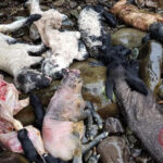 Council Appealing for Information on Lambs Dumped in River
