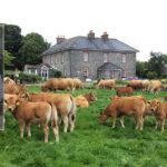 Weekend AGM and Farm Walk for Irish Aubrac Society in Castleisland